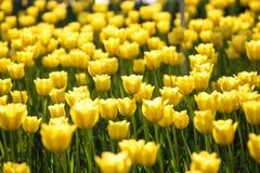 зацветая тюльпаны Стоковые Изображения RF