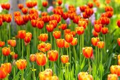 зацветая тюльпаны Стоковое Изображение