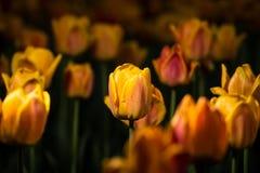 зацветая тюльпаны Стоковая Фотография