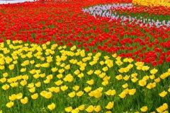 зацветая тюльпаны Стоковые Изображения