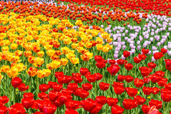 зацветая тюльпаны Стоковое Изображение RF