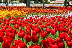 зацветая тюльпаны Стоковое фото RF