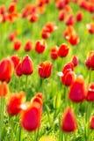 зацветая тюльпаны Стоковая Фотография RF