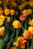 зацветая тюльпаны Стоковое Фото