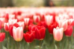 Зацветая тюльпан в Голландии Амстердаме Стоковые Изображения RF