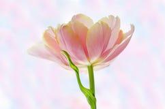 Зацветая тюльпан Стоковое Изображение