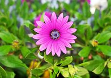Зацветая фиолетовая маргаритка - цветочный сад весны Стоковые Изображения