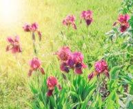Зацветая фиолетовые радужки в саде Стоковые Фотографии RF