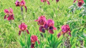 Зацветая фиолетовые радужки в саде Стоковые Изображения