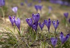 Зацветая фиолет и голубой крокус в высоких горах в предыдущей весне желтый цвет весны лужка одуванчиков предпосылки полный стоковые изображения