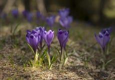 Зацветая фиолет и голубой крокус в высоких горах в предыдущей весне желтый цвет весны лужка одуванчиков предпосылки полный стоковое изображение
