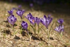Зацветая фиолет и голубой крокус в высоких горах в предыдущей весне желтый цвет весны лужка одуванчиков предпосылки полный стоковая фотография rf