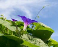 Зацветая фиолетовая слава утра в голубом небе Стоковая Фотография