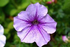 Зацветая фиолетовый фиолетовый цветок петуньи Стоковое Фото