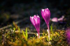 2 зацветая фиолетовых крокуса в горах Стоковые Изображения RF