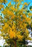 Зацветая фистула кассии дерева золотого ливня Стоковые Изображения RF