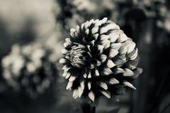 Зацветая фото изолированное цветками черно-белое стоковая фотография rf