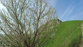 зацветая фруктовое дерев дерево видеоматериал