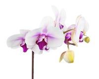 Зацветая хворостина белой фиолетовой орхидеи изолированной на белом backgroun Стоковая Фотография RF