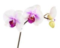 Зацветая хворостина белой фиолетовой орхидеи изолированной на белом backgroun Стоковое Фото