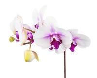 Зацветая хворостина белой фиолетовой орхидеи изолированной на белом backgroun Стоковое Изображение