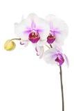Зацветая хворостина белой фиолетовой орхидеи изолированной на белом backgroun Стоковая Фотография