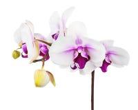 Зацветая хворостина белой фиолетовой орхидеи изолированной на белом backgroun Стоковые Изображения
