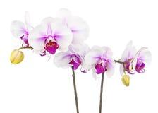Зацветая хворостина белой фиолетовой орхидеи изолированной на белом backgroun Стоковое Изображение RF