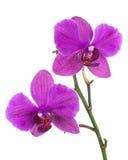 Зацветая хворостина орхидеи сирени изолированная на белой предпосылке Стоковые Изображения RF