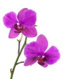 Зацветая хворостина орхидеи сирени изолированная на белой предпосылке Стоковые Изображения