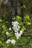 Зацветая хворостина сливы в предыдущей весне стоковое фото