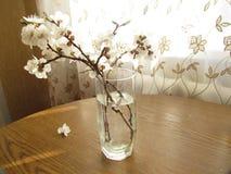 Зацветая хворостины абрикоса в стекле Стоковое Изображение RF