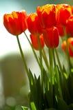 зацветая цветастый тюльпан цветков Стоковые Фото