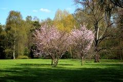 Зацветая цветения вишневого дерева среди зеленой лужайки в ботаническом саде Стоковая Фотография RF