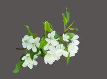 зацветая цветки белые Стоковые Изображения