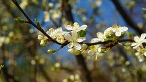 Зацветая цветки грушевого дерев дерева Стоковое Изображение RF