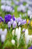 Зацветая цветки крокуса в парке ландшафта фокуса поля дня облаков сини небо выставки заводов движения должного польностью зеленог Стоковое фото RF