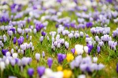Зацветая цветки крокуса в парке ландшафта фокуса поля дня облаков сини небо выставки заводов движения должного польностью зеленог Стоковые Изображения RF
