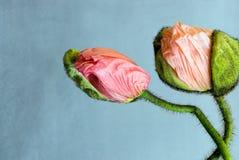 Зацветая цветки мака стоковые фото