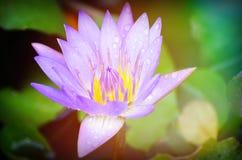 Зацветая цветки лотоса в крупном плане Стоковые Фото