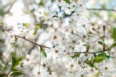 Зацветая цветки птиц-вишни близко вверх Дерево с белыми цветками весны Стоковая Фотография RF
