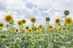 Зацветая цветки солнцецвета в зеленом поле Стоковое Фото