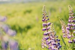 Зацветая цветки люпинов с космосом экземпляра Стоковые Фотографии RF