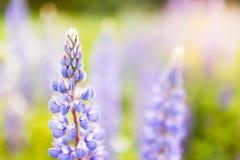 Зацветая цветки люпинов с космосом экземпляра Стоковые Фото