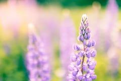 Зацветая цветки люпинов с космосом экземпляра Стоковые Изображения RF