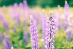 Зацветая цветки люпинов с космосом экземпляра Стоковое Изображение RF