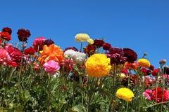 зацветая цветки Стоковое Изображение RF