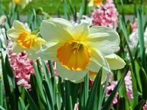 Зацветая цветки daffodil на поле daffodil стоковые изображения