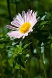 Зацветая цветок астр в саде Стоковые Фотографии RF