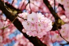 Зацветая цветок вишни Стоковые Фото